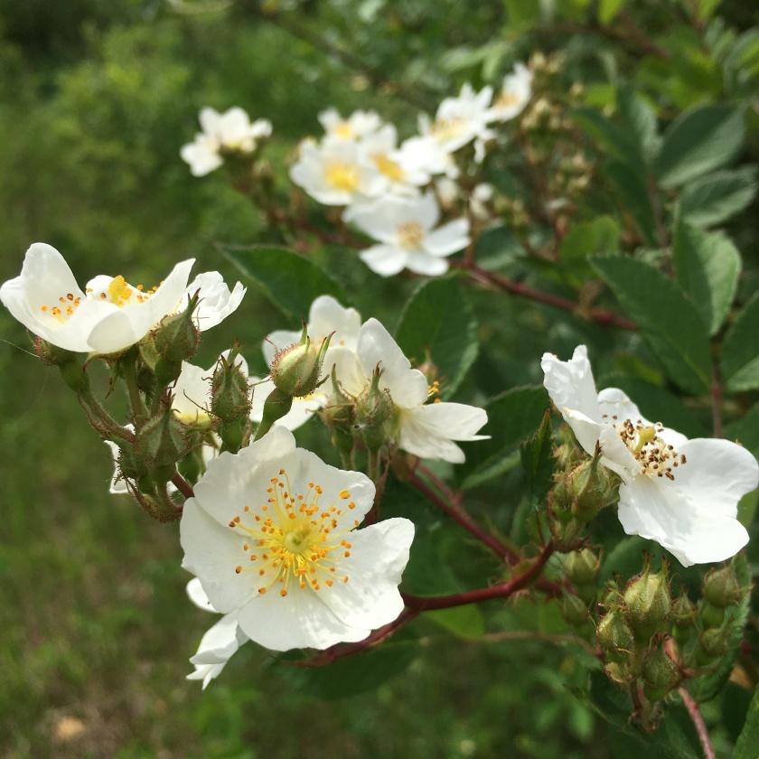 Multiflora Rose flowers